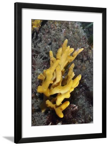 Yellow Staghorn Sponge, Lundy Island Marine Conservation Zone, Devon, England, UK-Linda Pitkin-Framed Art Print