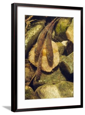 Brown Trout (Salmo Trutta) Fry on River Bed, Cumbria, England, UK, September-Linda Pitkin-Framed Art Print