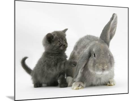 Grey Kitten with Grey Windmill-Eared Rabbit-Mark Taylor-Mounted Photographic Print