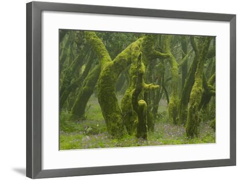 Laurisilva Forest, Laurus Azorica Among Other Trees, Garajonay Np, La Gomera, Canary Islands, Spain-Relanz?n-Framed Art Print