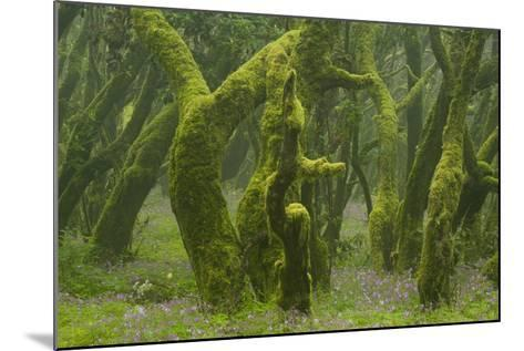 Laurisilva Forest, Laurus Azorica Among Other Trees, Garajonay Np, La Gomera, Canary Islands, Spain-Relanz?n-Mounted Photographic Print