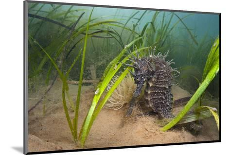 Yellow - Spiny Seahorse Female Sheltering in Meadow of Common Eelgrass, Studland Bay, Dorset, UK-Alex Mustard-Mounted Photographic Print