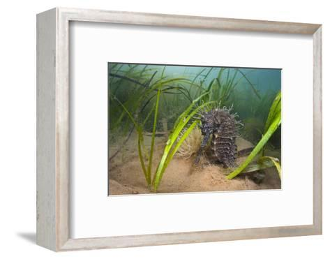 Yellow - Spiny Seahorse Female Sheltering in Meadow of Common Eelgrass, Studland Bay, Dorset, UK-Alex Mustard-Framed Art Print