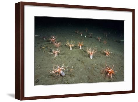 A Forest of Sea Cucumbers (Psolus Phantapus) Feeding, Extended Upward in a Scottish Sea Loch, UK-Alex Mustard-Framed Art Print