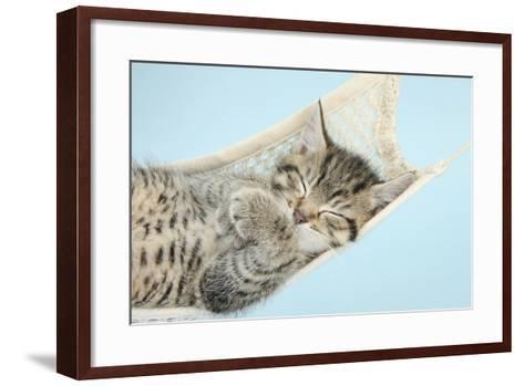 Cute Tabby Kitten, Stanley, 7 Weeks, Sleeping in a Hammock-Mark Taylor-Framed Art Print