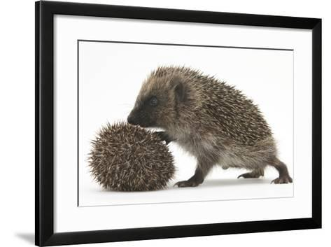 Two Young Hedgehogs (Erinaceus Europaeus) One Standing, One Rolled into a Ball-Mark Taylor-Framed Art Print