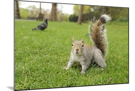 Grey Squirrel (Sciurus Carolinensis) on Grass in Parkland, Regent's Park, London, UK, April 2011-Terry Whittaker-Mounted Photographic Print