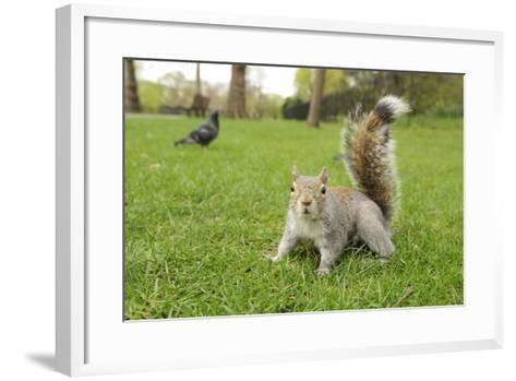 Grey Squirrel (Sciurus Carolinensis) on Grass in Parkland, Regent's Park, London, UK, April 2011-Terry Whittaker-Framed Art Print