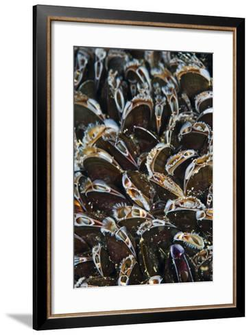 Bed of Common Mussels (Mytilus Edulis) Growing on Rocks, Feeding, Megavissey, Cornwall, UK, May-Alex Mustard-Framed Art Print