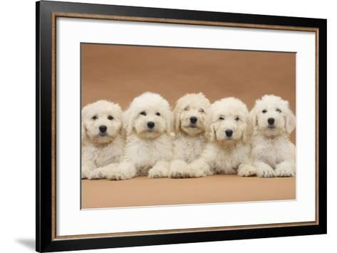 Five Labradoodle Puppies, 9 Weeks-Mark Taylor-Framed Art Print