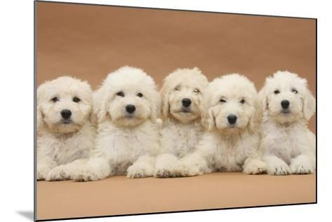 Five Labradoodle Puppies, 9 Weeks-Mark Taylor-Mounted Photographic Print