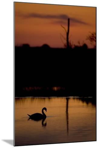 Mute Swan (Cygnus Olor) Adult Silhouetted on Lake at Sunset, Oostvaardersplassen, Netherlands-Hamblin-Mounted Photographic Print