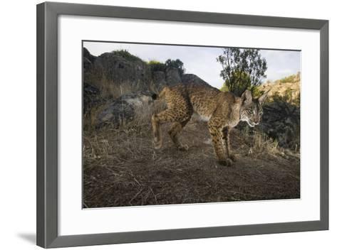 Wild Iberian Lynx (Lynx Pardinus) Male, Sierra De And?jar Np, Spain, Critically Endangered-Oxford-Framed Art Print