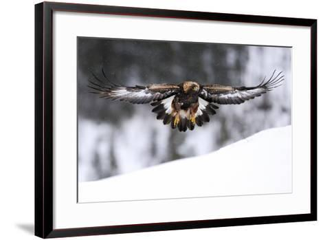 Golden Eagle (Aquila Chrysaetos) in Flight over Snow, Flatanger, Norway, November 2008-Widstrand-Framed Art Print