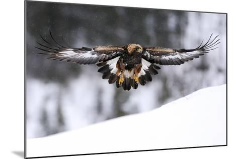 Golden Eagle (Aquila Chrysaetos) in Flight over Snow, Flatanger, Norway, November 2008-Widstrand-Mounted Photographic Print