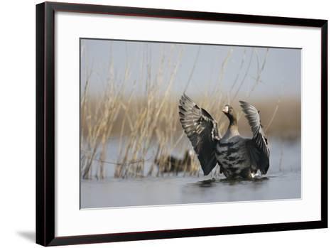 White Fronted Goose (Anser Albifrons) Flapping Wings, Durankulak Lake, Bulgaria, February 2009-Presti-Framed Art Print