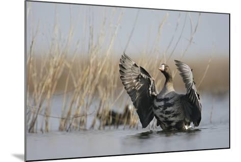 White Fronted Goose (Anser Albifrons) Flapping Wings, Durankulak Lake, Bulgaria, February 2009-Presti-Mounted Photographic Print