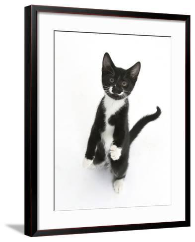Black and White Tuxedo Kitten, Tuxie, Standing Up on Haunches and Looking Up with Raised Paws-Mark Taylor-Framed Art Print