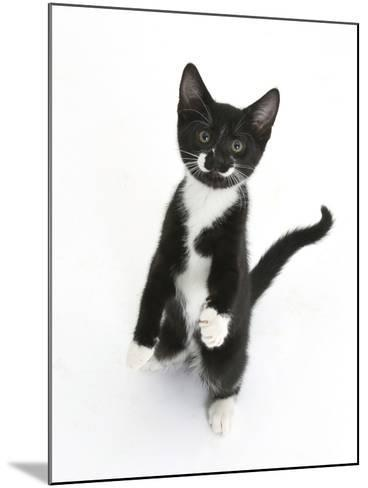 Black and White Tuxedo Kitten, Tuxie, Standing Up on Haunches and Looking Up with Raised Paws-Mark Taylor-Mounted Photographic Print
