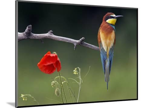 European Bee-Eater (Merops Apiaster) Perched Beside Poppy Flower, Pusztaszer, Hungary, May 2008-Varesvuo-Mounted Photographic Print