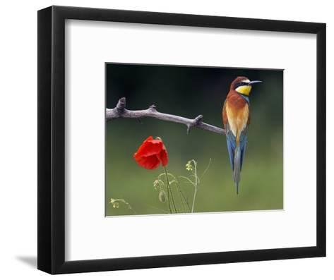 European Bee-Eater (Merops Apiaster) Perched Beside Poppy Flower, Pusztaszer, Hungary, May 2008-Varesvuo-Framed Art Print
