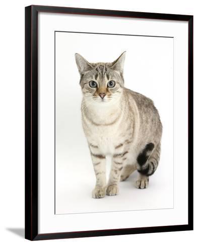 Sepia Snow Bengal-Cross Female Cat, Lilli-Mark Taylor-Framed Art Print