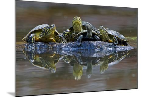 Three European Pond Turtles (Emys Orbicularis) and a Balkan Terrapin on Rock, Butrint, Albania-Geidemark-Mounted Photographic Print