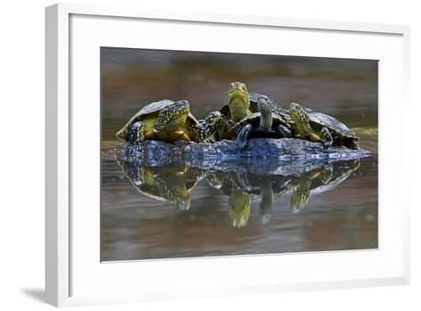 Three European Pond Turtles (Emys Orbicularis) and a Balkan Terrapin on Rock, Butrint, Albania-Geidemark-Framed Art Print