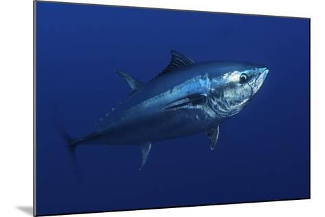 Atlantic Bluefin Tuna (Thunnus Thynnus) Portrait, Captive, Malta, Mediteranean, May 2009-Zankl-Mounted Photographic Print