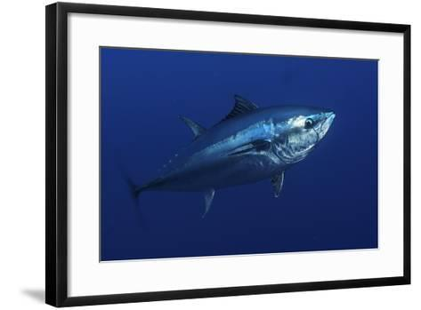 Atlantic Bluefin Tuna (Thunnus Thynnus) Portrait, Captive, Malta, Mediteranean, May 2009-Zankl-Framed Art Print