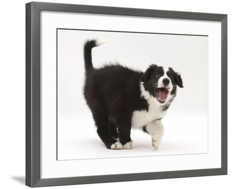 Black-And-White Border Collie Puppy Barking-Mark Taylor-Framed Art Print