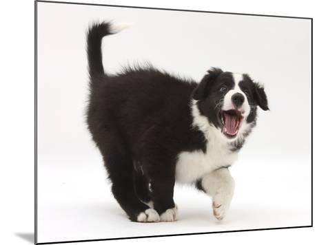 Black-And-White Border Collie Puppy Barking-Mark Taylor-Mounted Photographic Print
