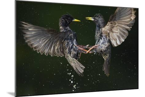 Two Common Starlings (Sturnus Vulgaris) Fighting, Pusztaszer, Hungary, May 2008-Varesvuo-Mounted Photographic Print