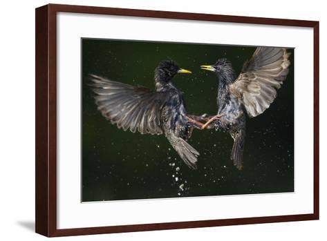 Two Common Starlings (Sturnus Vulgaris) Fighting, Pusztaszer, Hungary, May 2008-Varesvuo-Framed Art Print