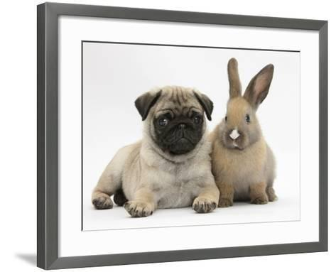 Fawn Pug Puppy, 8 Weeks, and Young Rabbit-Mark Taylor-Framed Art Print