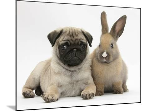 Fawn Pug Puppy, 8 Weeks, and Young Rabbit-Mark Taylor-Mounted Photographic Print