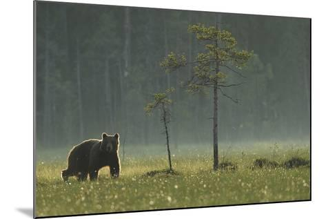 Eurasian Brown Bear (Ursus Arctos) in Early Evening, Kuhmo, Finland, July 2008-Widstrand-Mounted Photographic Print