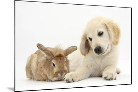 Lionhead Cross Rabbit, Tedson, and Golden Retriever Dog Puppy, Oscar, 3 Months-Mark Taylor-Mounted Photographic Print
