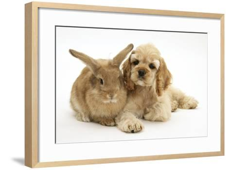 Buff American Cocker Spaniel Puppy, China, 10 Weeks, Lying Beside Sandy Lionhead-Cross Rabbit-Mark Taylor-Framed Art Print