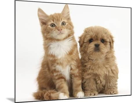 Peekapoo Puppy and Ginger Kitten-Mark Taylor-Mounted Photographic Print