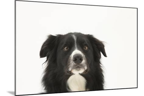 Border Collie Face Portrait-Mark Taylor-Mounted Photographic Print