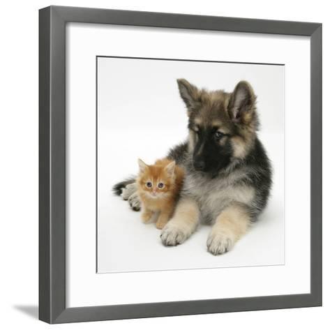 Ginger Kitten with German Shepherd Dog (Alsatian) Bitch Puppy, Echo-Mark Taylor-Framed Art Print