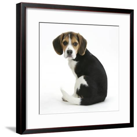 Beagle Puppy, Florrie, 4 Months, Sitting, Looking over Her Shoulder-Mark Taylor-Framed Art Print