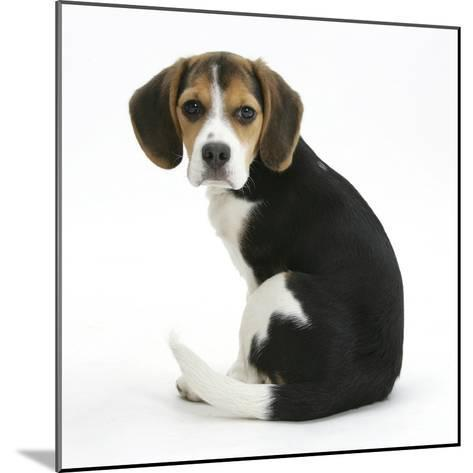 Beagle Puppy, Florrie, 4 Months, Sitting, Looking over Her Shoulder-Mark Taylor-Mounted Photographic Print