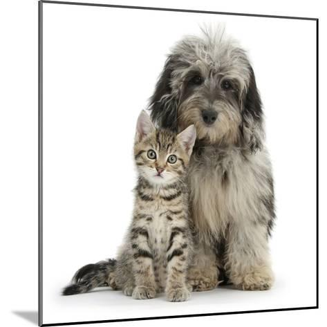 Tabby Kitten 8 Weeks, with Fluffy Black and Grey Daxie Doodle (Daschund Poodle Cross) Puppy-Mark Taylor-Mounted Photographic Print