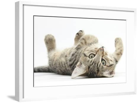 Tabby Male Kitten, Stanley, 12 Weeks, Rolling Playfully on His Back-Mark Taylor-Framed Art Print
