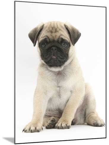 Fawn Pug Puppy, 8 Weeks, Sitting-Mark Taylor-Mounted Photographic Print