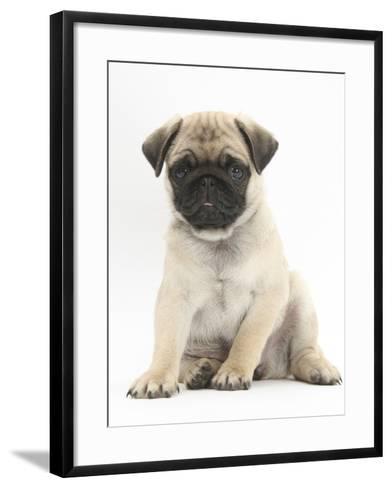Fawn Pug Puppy, 8 Weeks, Sitting-Mark Taylor-Framed Art Print