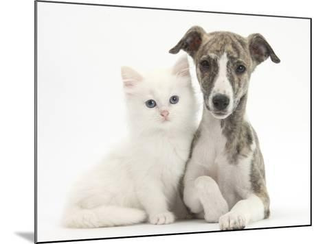 Brindle-And-White Whippet Puppy, 9 Weeks, with White Maine Coon-Cross Kitten-Mark Taylor-Mounted Photographic Print