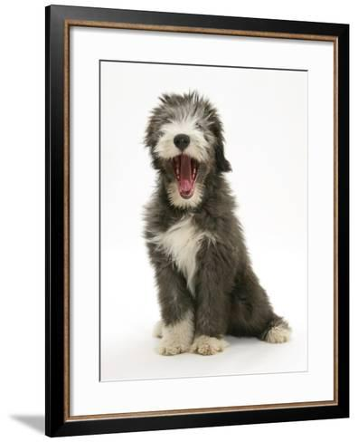Blue Bearded Collie Puppy, 3 Months, Yawning-Mark Taylor-Framed Art Print